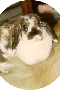 broken torte mini lop